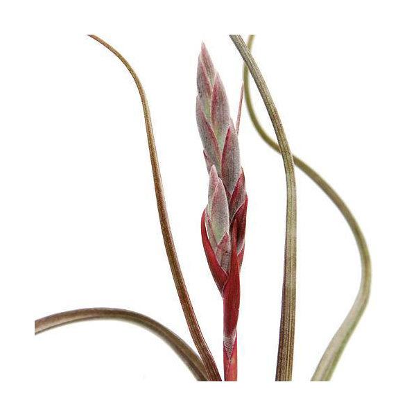 (観葉植物)エアープランツ ティランジア プセウドベイレイ(1株)