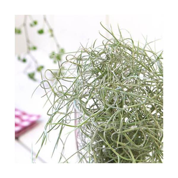 (観葉植物)エアープランツ ティランジア ウスネオイデス 太葉タイプ Sサイズ(1束分)