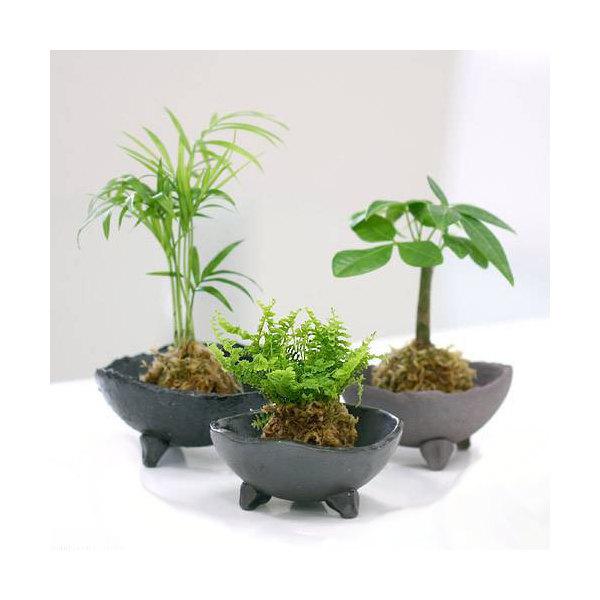 (観葉植物)私のオアシス 益子焼小皿とコケ玉 おまかせ観葉のセット(炭化セット)