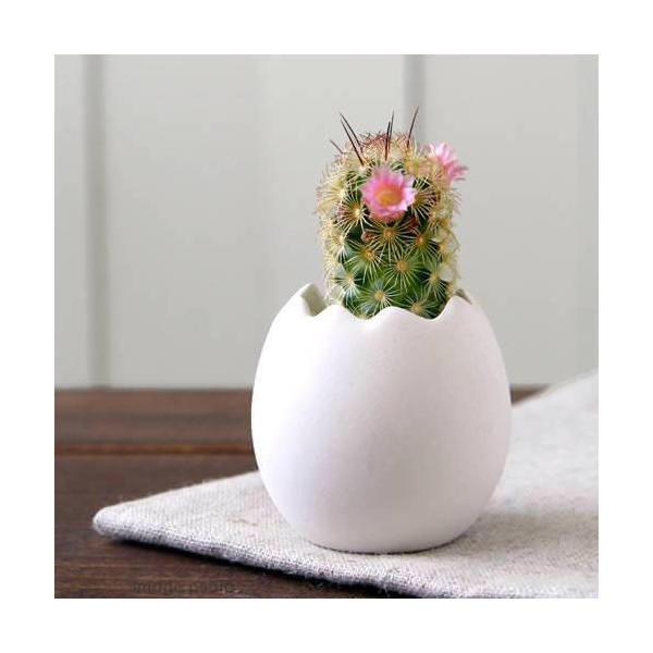 (観葉植物)私のオアシス 元気の出るたまごチビ サボテン(1鉢) 説明書付き