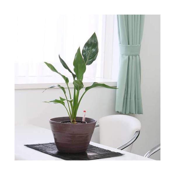 (観葉植物)おまかせハイドロ苗と姫睡蓮鉢 彩・赤楽 XLサイズ苗(1セット) 沖縄別途送料
