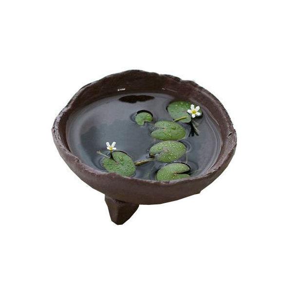 (ビオトープ/水辺植物)私の小さなアクアリウム ~ときめき ヒメシロアサザの可憐な白い花 益子焼セット~