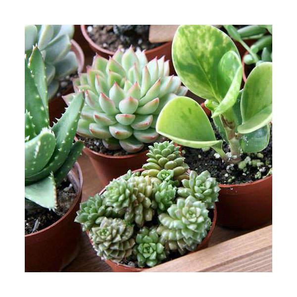 (観葉植物)おまかせ多肉植物 2号(お買い得10鉢セット)