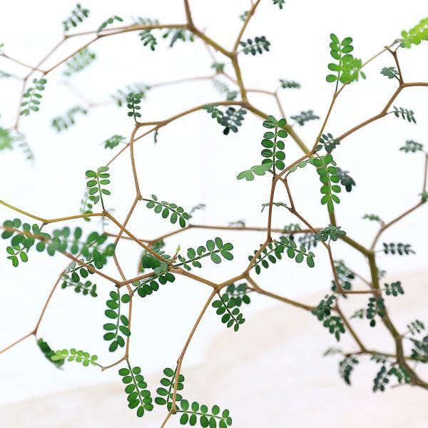 (観葉植物)メルヘンの木 ソフォラ リトルベイビー 3号(1ポット)