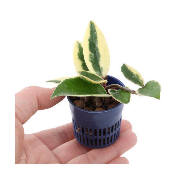 (観葉植物)おまかせハイドロ苗4.5φ・Sサイズ(1ポット)