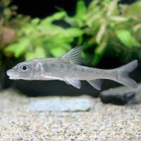 日本産淡水魚(日淡)