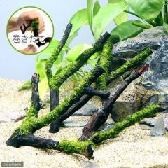 (水草)巻きたて ジャイアント南米ウィローモス 枝状流木 Sサイズ(約10cm~)(無農薬)(1本)