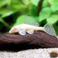 (熱帯魚)アルビノセルフィン・プレコ(1匹) 北海道・九州・沖縄航空便要保温