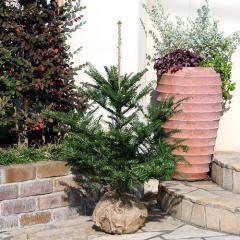 (観葉植物)本物のもみの木 ウラジロモミノキ 長野産(2本セット)(高さ0.8~1m前後)説明書付き 2個口送料無料 沖縄別途送料