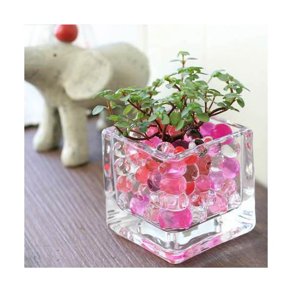 (観葉植物)おまかせオアシス苗とブロックグラスS レッドミックスセット