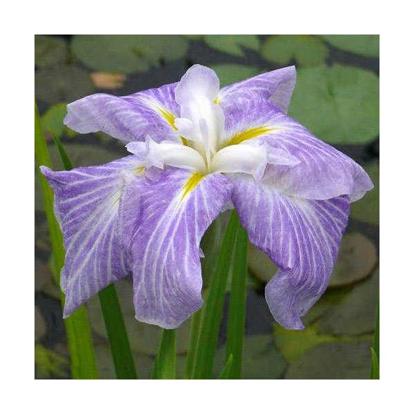 (ビオトープ/水辺植物)花菖蒲 稚児舞(チゴマイ)(1ポット分) (植えたて)