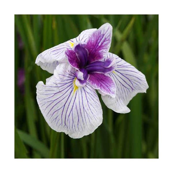 (ビオトープ/水辺植物)花菖蒲 万里の響(バンリノヒビキ)(1ポット分) (植えたて)