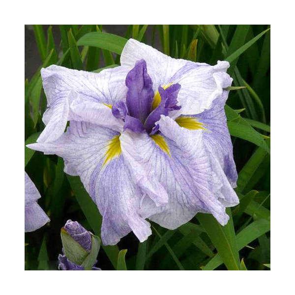 (ビオトープ/水辺植物)花菖蒲 尾花の露(オバナノツユ)(1ポット分)