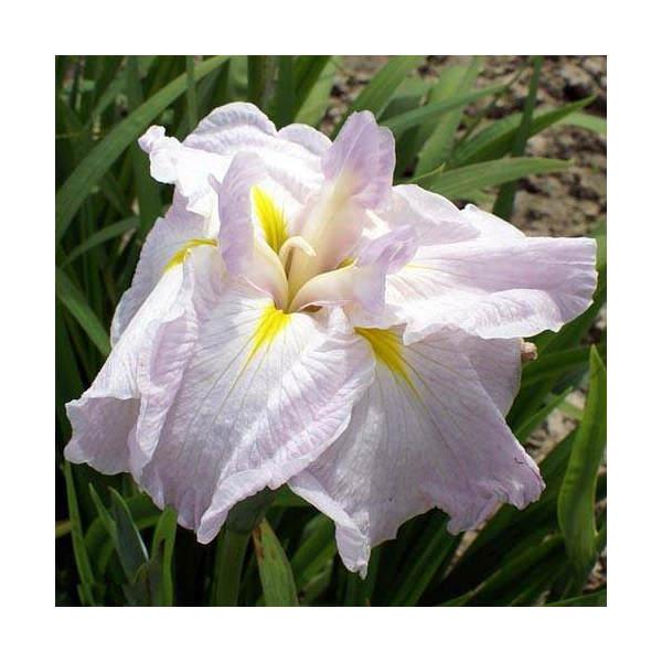 (ビオトープ/水辺植物)花菖蒲 桜月夜(サクラヅキヨ)(1ポット分) (植えたて)