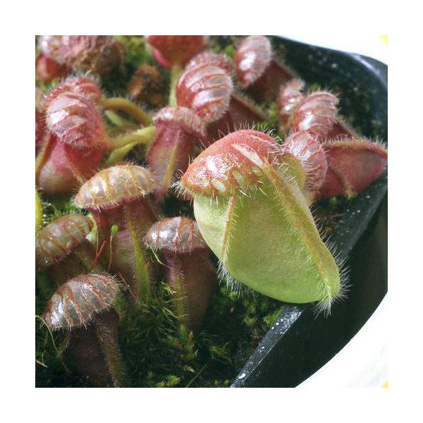(食虫植物)セファロタス フォリキュラリス 3号(1ポット)