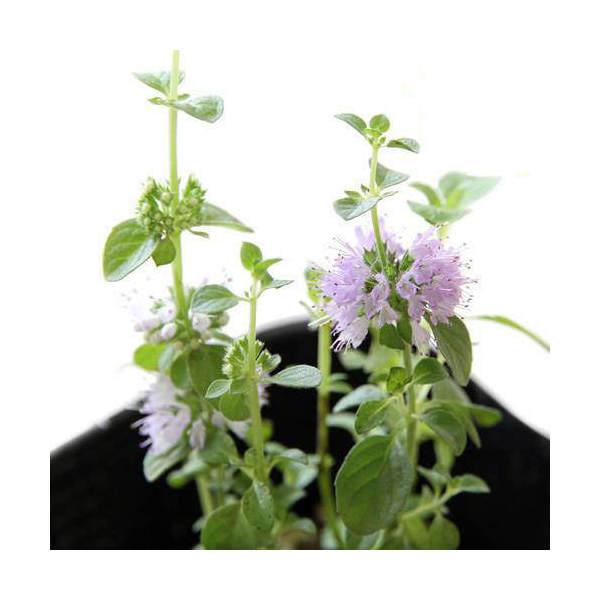 (観葉植物)ハーブ苗 ミント ペニーロイヤルミント 3号(3ポット) 虫除け植物 家庭菜園