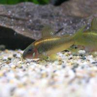(熱帯魚)コリドラス・イルミネータス ゴールド(ブリード)(1匹) 北海道航空便要保温