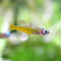 (熱帯魚)シュードムギルsp.ティミカ(3匹) 北海道・九州航空便要保温