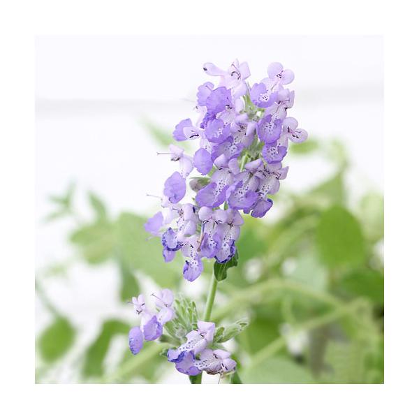 (観葉植物)ハーブ苗 ミント キャットミント ブルー 3号(1ポット) 家庭菜園