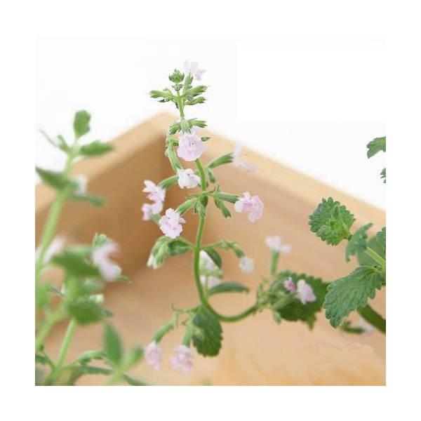 (観葉植物)ハーブ苗 ミント キャットミント ピンク 3号(お買い得3ポットセット) 家庭菜園