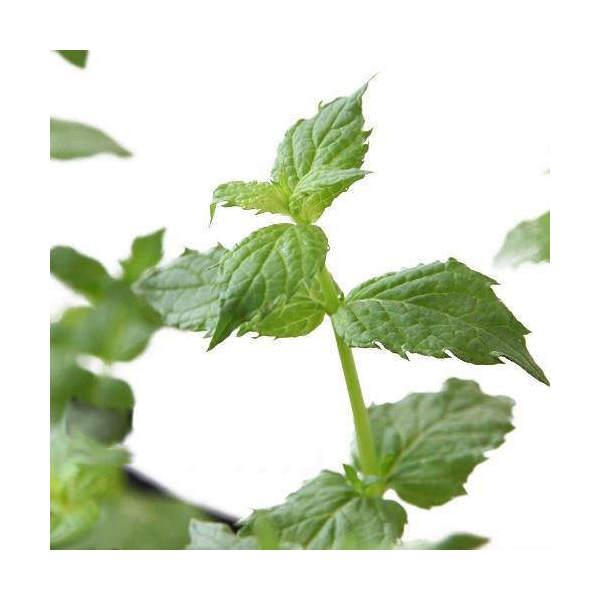 (観葉植物)ハーブ苗 ミント ペパーミント ホワイト 3号(お買い得3ポットセット) 家庭菜園