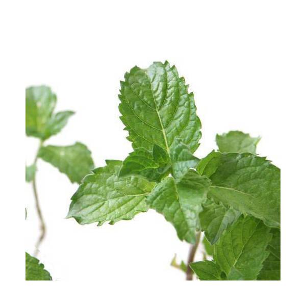 (観葉植物)ハーブ苗 ミント グレープフルーツミント 3号(1ポット) 家庭菜園