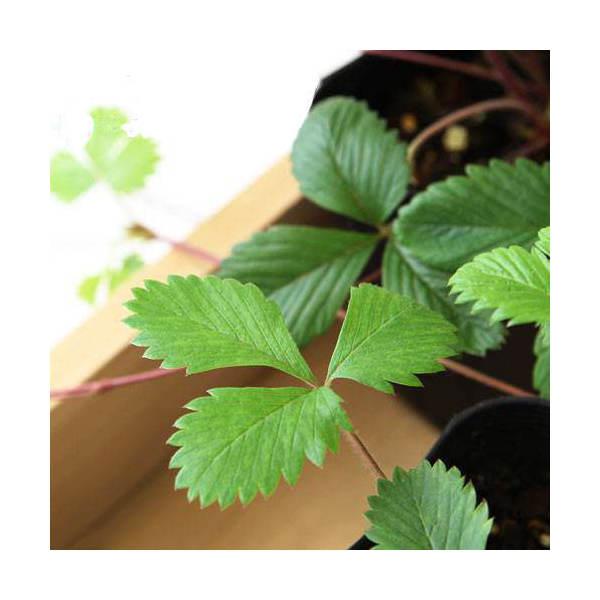 (観葉植物)ハーブ苗 ワイルドストロベリー 3号(1ポット) 家庭菜園