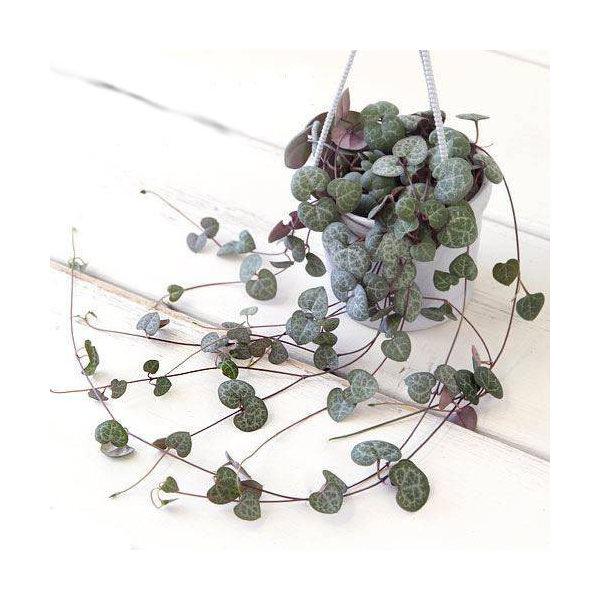 (観葉植物)ぶらりサキュレント ハートカズラ(セロペギア ウッディー)3号吊り鉢タイプ(1鉢) (説明書付)