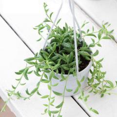 (観葉植物)ぶらりサキュレント 三日月ネックレス 3号吊り鉢タイプ(1鉢) (説明書付)