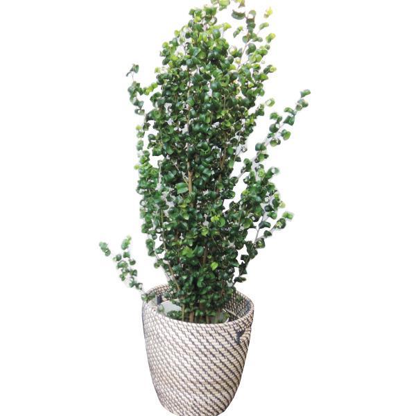 観葉植物 ベンジャミンバロック7号 北欧カゴ 送料無料(一部地域を除く) ギフト対応可