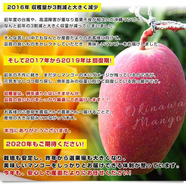 沖縄県より産地直送 JAおきなわ 完熟マンゴー 秀品 1.5キロ (4玉から5玉入り) 送料無料 まんごー アップルマンゴー 沖縄マンゴー ※ご購入後3日から12日で発送