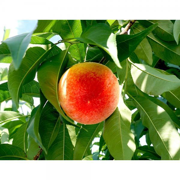 送料無料【完売】もも 桃 山梨県産 雨宮さんの てっぺんの桃 約2kg(5~6玉) 常温
