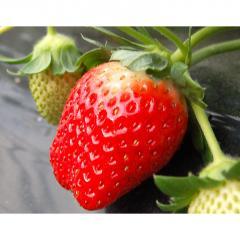 【1/22~27出荷】<<送料無料>>茨城県産 菅谷利男さんのいちご お試し不揃い 1箱約500g(約250g×2P)※冷蔵