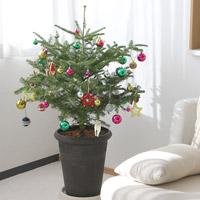 クリスマスに本物もみの木